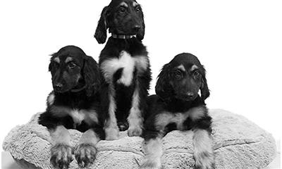 世界首只克隆犬史努比