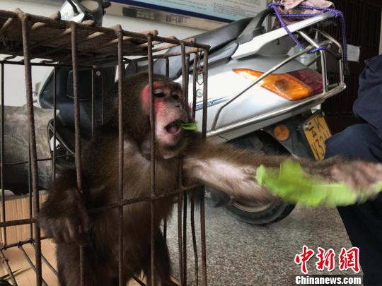 图为国家二级保护动物短尾猴 常宗波 摄