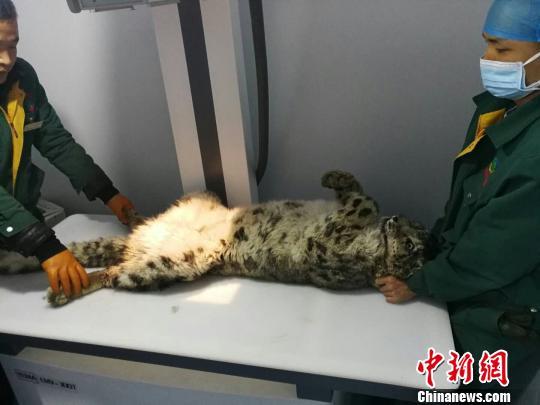 图为受伤雪豹接受救治。青海省野生动物救护繁育中心供图