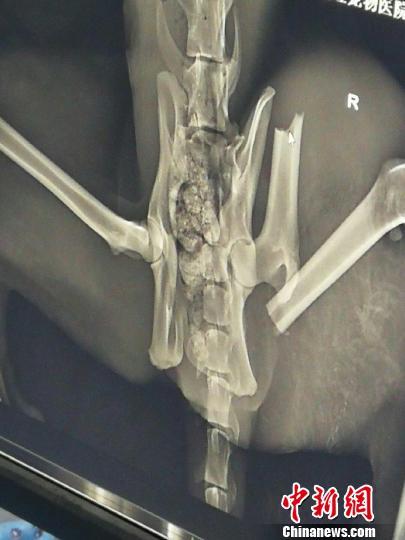 图为受伤雪豹X光片图显示,左后肢股骨骨折,髋骨左侧粉碎性骨折。青海省野生动物救护繁育中心供图