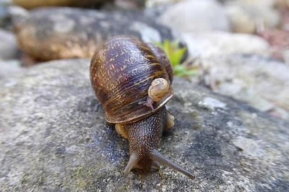 科学家发现日本蜗牛进化过程:繁殖过程太复杂