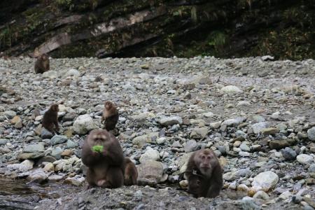 11月11日,成都游客发现一只藏酋猴(右)前臂被捕兽夹夹住了。本文图片均来自华西都市报