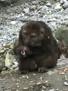11月27日被再次发现时,断臂藏酋猴的伤口已经开始愈合。
