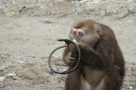 受伤的藏酋猴。