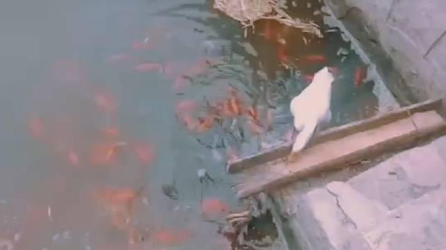 听说商丘师范学院 春明湖的鱼都是这只鹅养大的