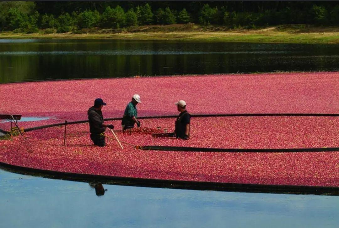 ▲美国蔓越莓出口将会受到很大冲击。(美联社)