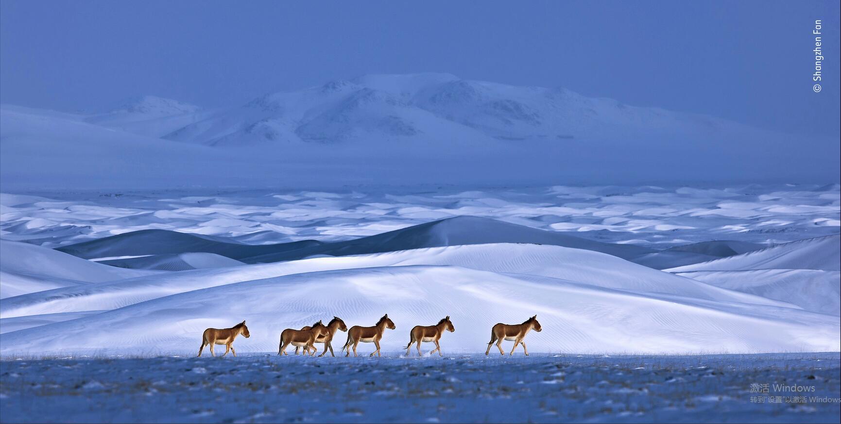樊尚珍作品《藏野驢》獲得提名獎 圖自WPY官網