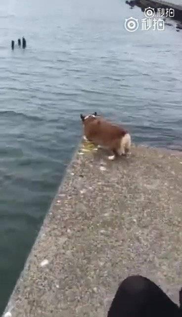 柯基看到主人溺水了,开始大声呼救,最后用这种方式把主人救上岸!