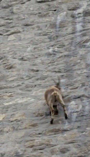 这群羊,无视地球引力,在几乎垂直的水坝行走,堪称羊界攀登者