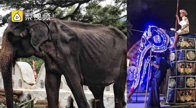 残忍!斯里兰卡70岁瘦弱母象被迫盛装游行,全身瘦骨嶙峋