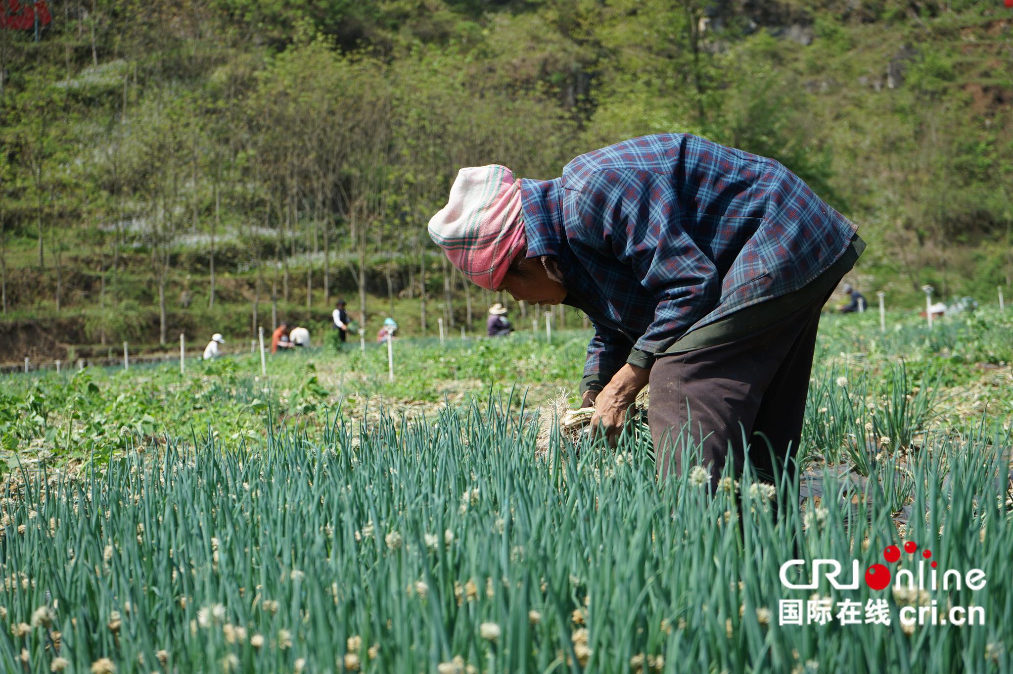 【壮丽70年奋斗新时代】毕节赫章:万亩香葱惠农家