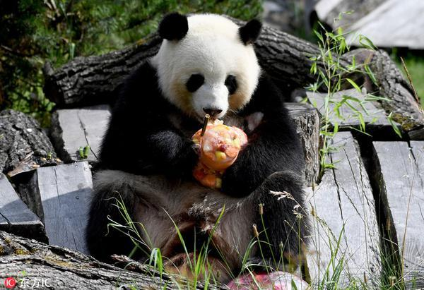 """德国柏林,旅德大熊猫""""梦梦""""迎来5岁生日,柏林动物园饲养员为其准备了"""