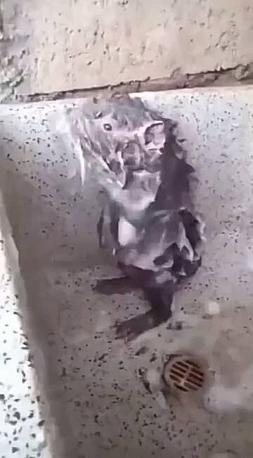 你没看错,这货真的是在认真洗澡!#太奇葩了#