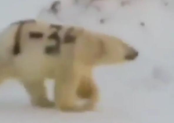 北极熊身上被赐字 网友痛心:失去了保护色会饿死的
