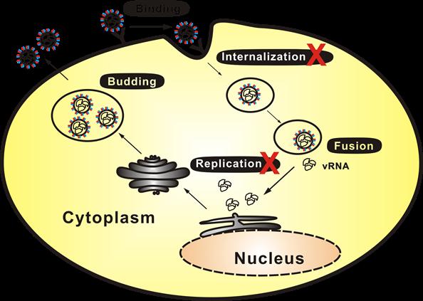 科学家发现钙离子通道抑制剂能治疗发热伴血小板减少综合征