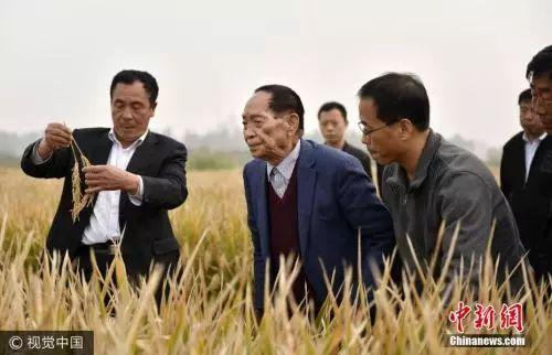 """△""""杂交水稻之父""""袁隆平在示范田查看超级杂交水稻。"""