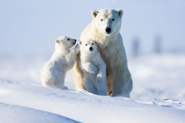 英媒:全球变暖致海水升温 北极熊恐在40年内灭绝