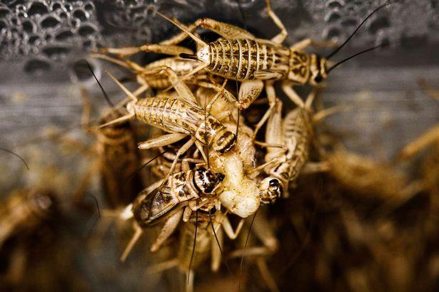 """由碾碎的昆虫制成的蛋白粉正在出售 它尝起来""""像坚果"""""""