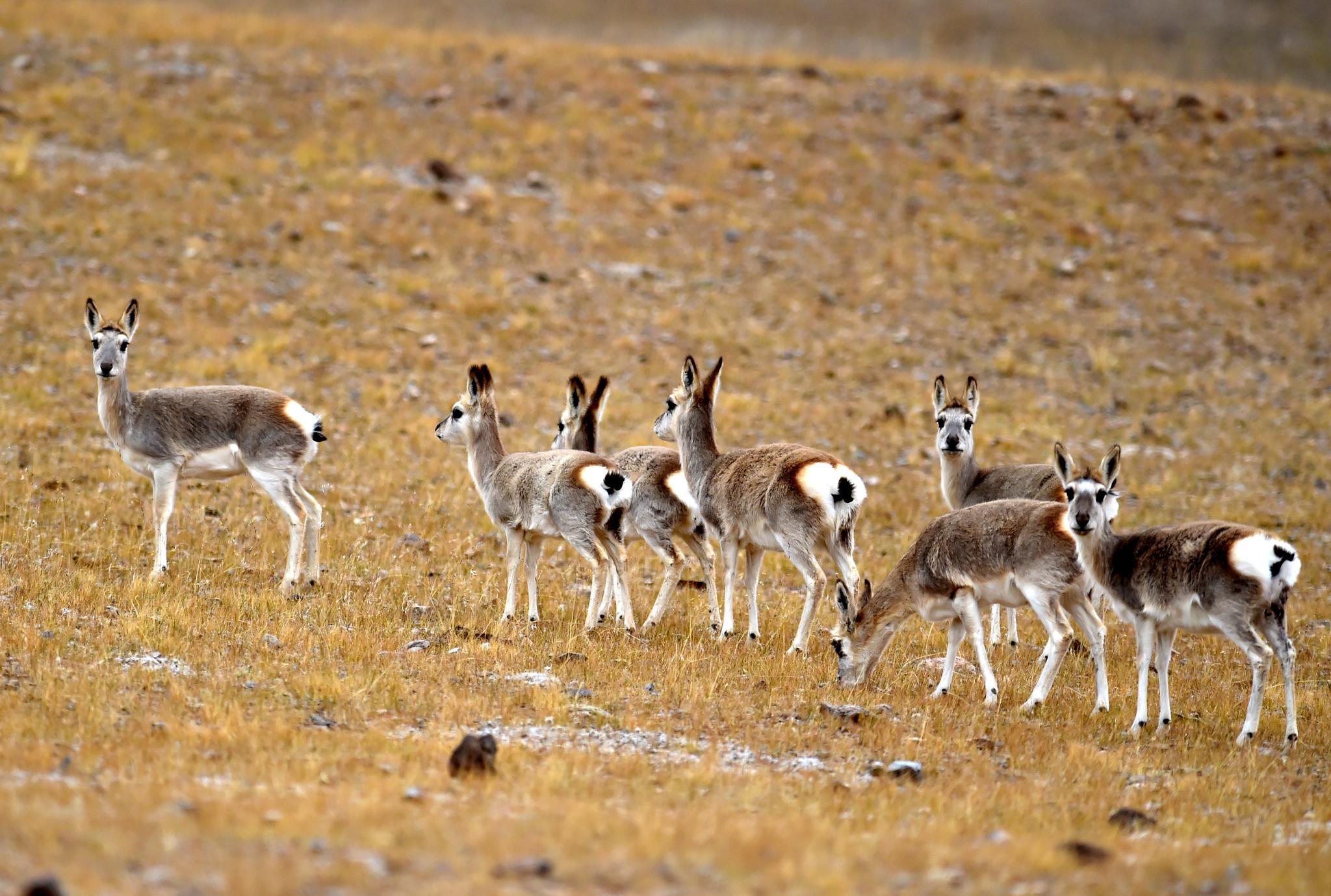 西藏双湖:野生动物的天堂