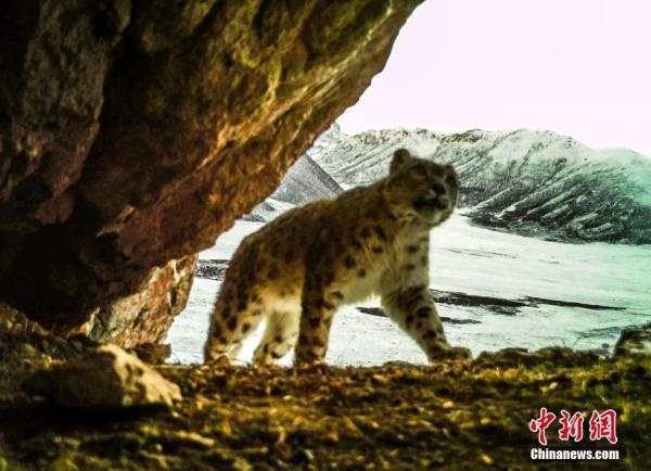 萌态十足!红外相机拍到黄河源地区野生雪豹活动照「组图」
