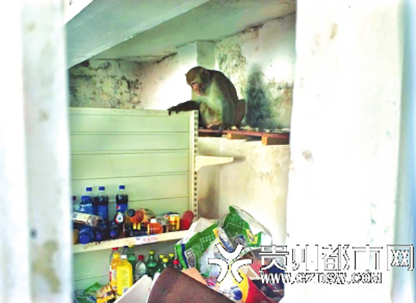 猕猴频繁下山闹事 野管站近两月出动十次捉拿猴哥