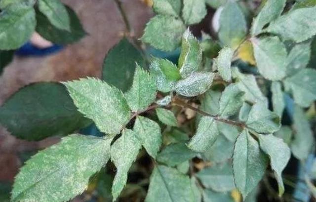 月季花叶片出现白色霉层,多菌灵喷了几次无效果,如何来预防?