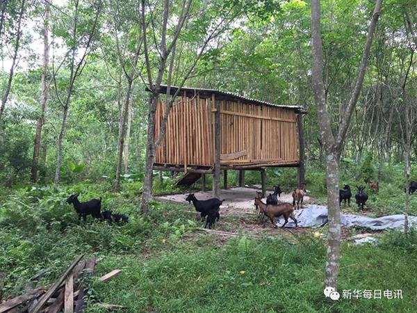 王成安在扶贫干部黄海军的帮扶下,精准选择养殖市场稳定的本地黑山羊,他在橡胶林建起了一座高脚羊舍,已卖了一批羊。