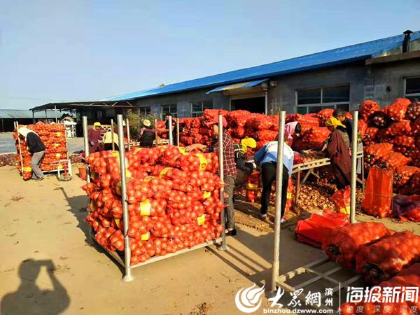 """李庄镇280吨洋葱进军巴西 """"李庄三辣""""打开南美洲市场"""