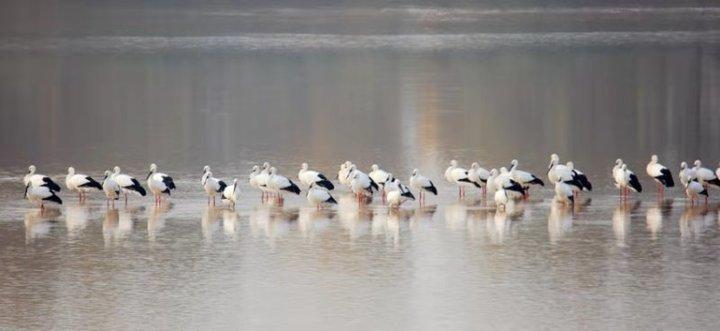 济南黄河惊现大批国家一级保护动物——东方白鹳