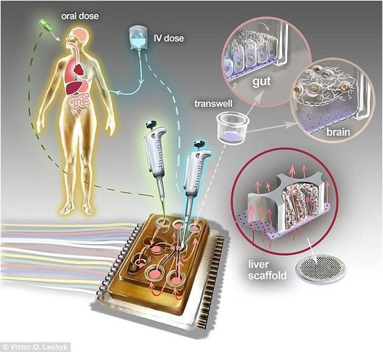 """麻省理工学院""""人体芯片"""":模拟器官对药物反应"""
