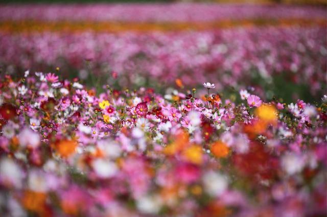 南京的秋天美翻了!来六合看花海