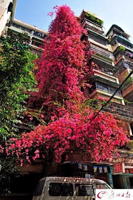 广州有一条9层楼高的粉红花瀑布!背后还有一个动人的故事……