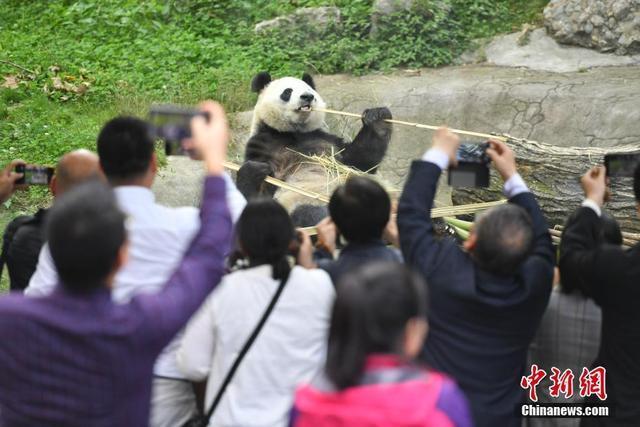 """海外媒体代表:走进四川青城山""""邂逅""""国宝大熊猫"""