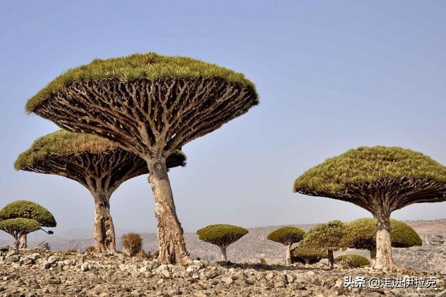 阿联酋从也门的索科特拉岛偷走濒临灭绝的龙血树