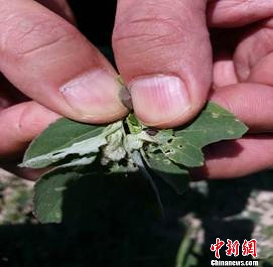 图为内蒙古兴安盟爆发草地螟虫害。 气象部门供图