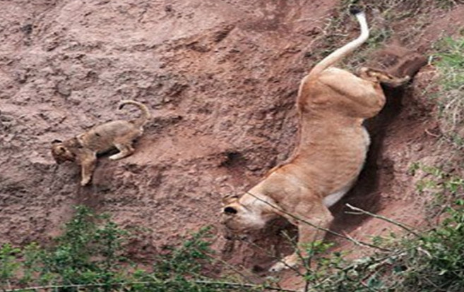 幼狮不慎掉落山崖,危难时刻,狮子妈妈的伟大令人敬佩