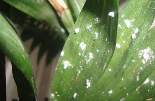 春季家庭养花这5种虫子最常见,其实处理并不难