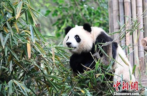 资料图为国宝大熊猫。中新社记者 安源 摄