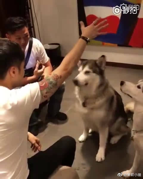 让我们试着来给汪星人表演一个魔术,你会知道什么叫做真正的狗