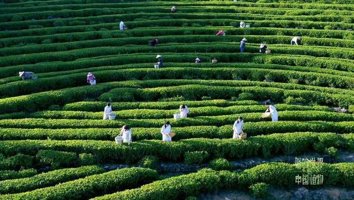 《影响世界的中国植物》明起开播,水稻茶树桑树大豆等28个主角被创新呈现