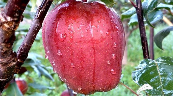 红色的梨你见过吗?聊城这个村的梨熟了 全身通红含糖量肉感酥脆