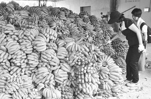 台官员割破香蕉将其去商品化。