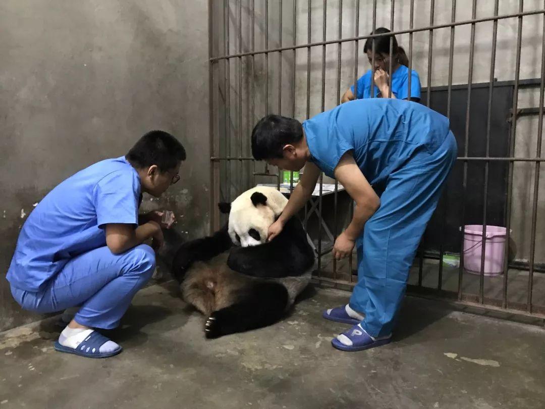 喜讯   陕西迎来今年第三只大熊猫宝宝!