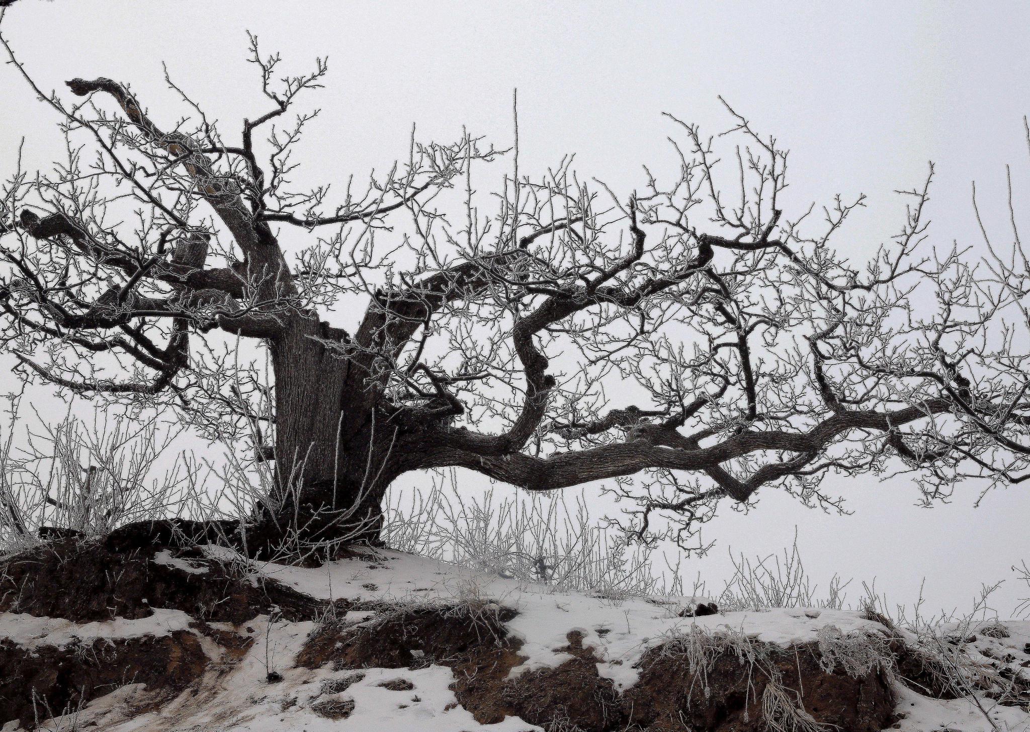 寒时节低温是梨宝宝计划树最好的,宝宝计划图片