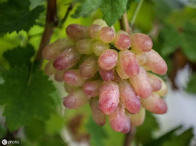 农户2019年的葡萄真情总结,吃过13个品种,另外淘汰4个品种