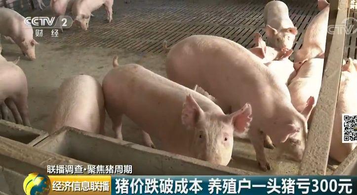 养一头亏300元 风口上的猪为啥不起飞了?