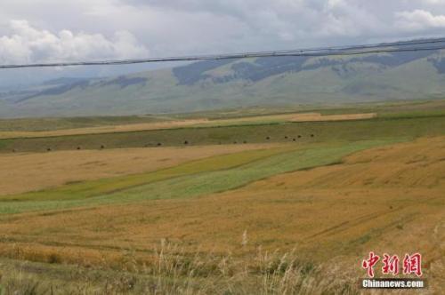 资料图:新疆昭苏高原上约百万亩春小麦。 李文武 摄