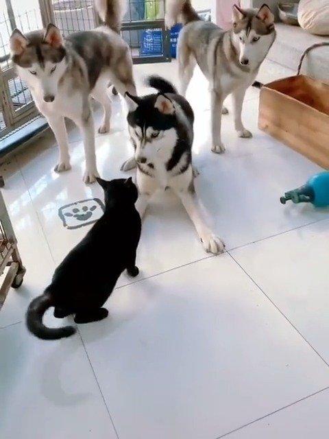 三只怂狗打不过一只小猫咪哈哈哈