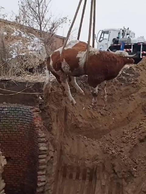 成功救助一只牛牛