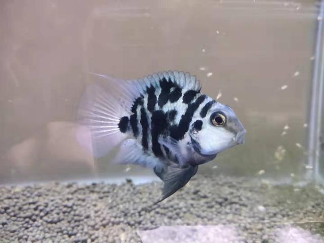融鳍现象,是很多观赏鱼疾病的最先征兆,我们如何观察和治疗?